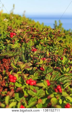 Ripe cranberries on the beach, norway, north, travel mountains