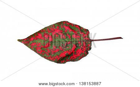 Decorative red and green leaf, isolated on white