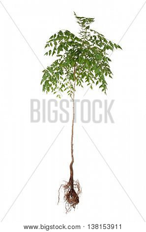 Tree with root isolated on white
