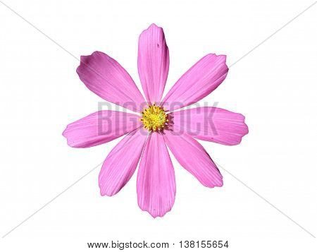 One cosmos (Mexican aster) pink flower isolated on white.