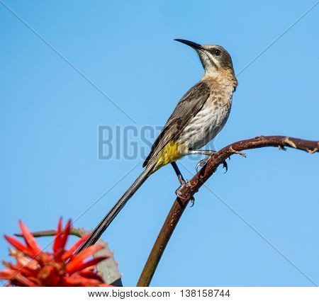A male Cape Sugarbird perched on a red aloe plant in Southern Africa