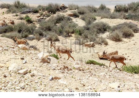 Family ibex are escaping from the mountain