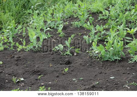 trudging the Bush peas in the garden in the garden