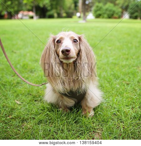 a miniature long haired dachshund with isabella coloring sitting in the grass in a local park