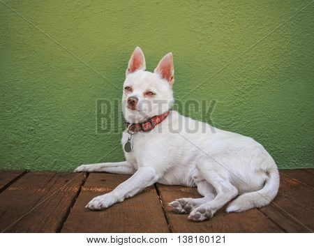 a cute white chihuahua resting on a deck or patio against a green stucco wall