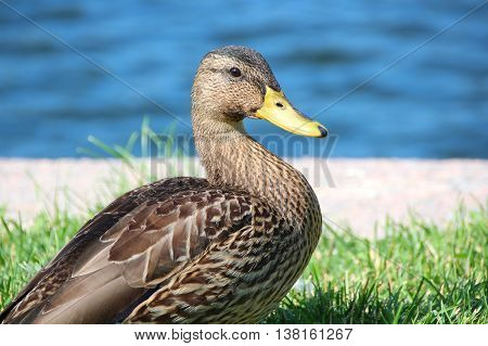 A female mallard duck stands in the grass on water background