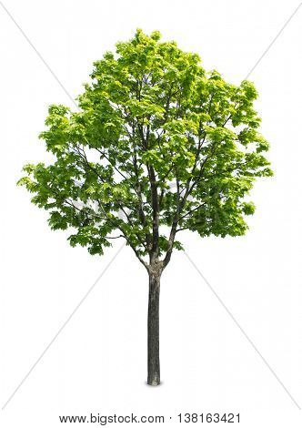 Maple tree isolated on a white background