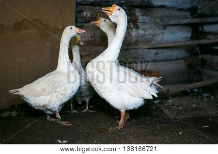 Four white geese standing in a cowshed