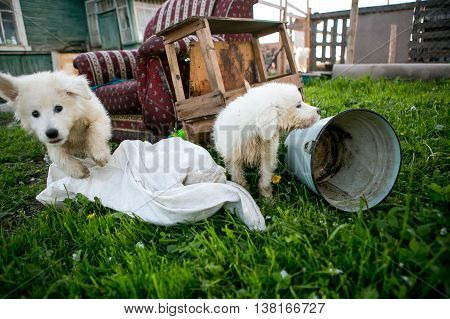 Young Maremma or Abruzzese white Sheepdog puppies playing