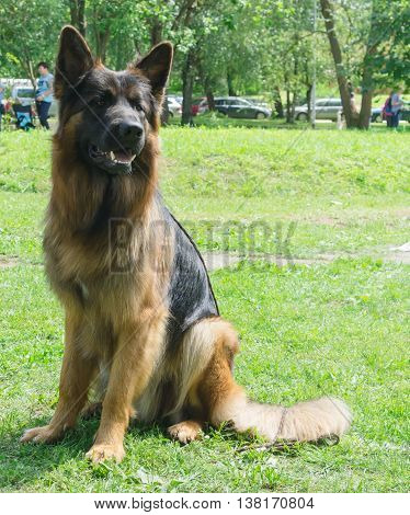 one dog breed long-haired german shepherd with a collar sits on green grass in the park, portrait