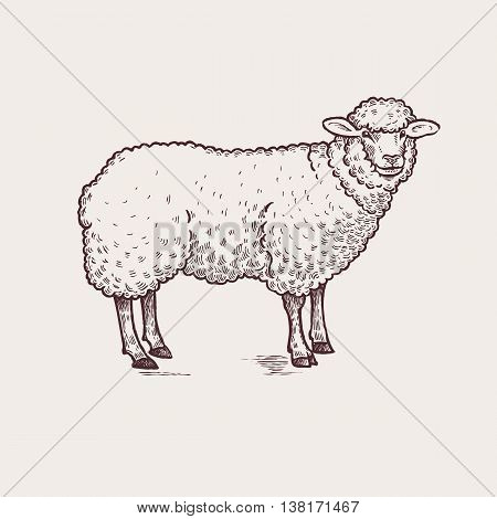 Vector illustration - domesticated animals. Graphics handmade drawing. Vintage engraving style. A series of farm animals. Nature - Sketch. Isolated sheep image on a white background.