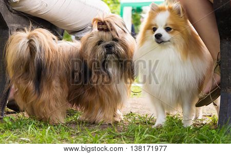 two little dog breed shih tzu and pomeranian standing in the park near the bench on which two people sit