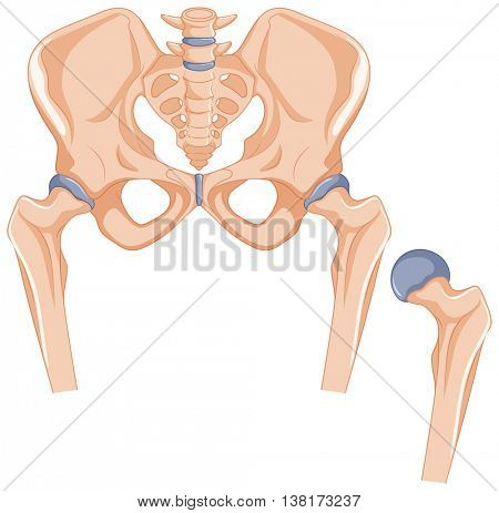 Hip bones in human body illustration