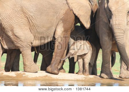 African Elephant Calf Amongst Adults Legs