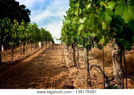 Grapevine row with veraison of grapes, Napa Valley California vineyard. Dirt in a vineyard row in Napa wine country. Green grapes turn red on a single grape cluster. Blue sky on a sunny day.