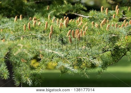 Selective focus of erected cones of Deodar, Himalayan cedar tree growing in Adelaide, South Australia with blurred background