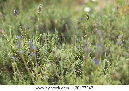 Aromatic Lavender bush growing wild in Malta selective depth of field blur