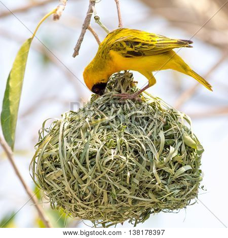 Yellow Masked Weaver Bird Building Nest