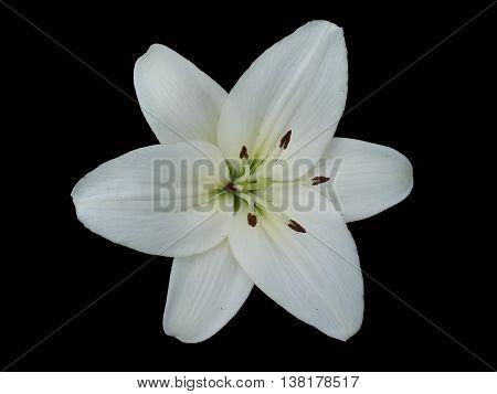 Hybrid lily 'Donatello' white flower isolated on black.
