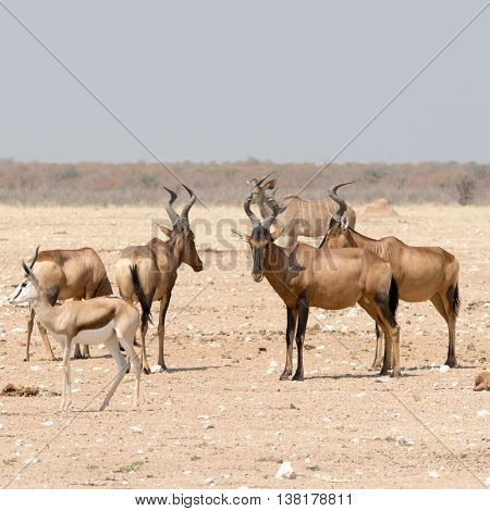 Group Of Red Hardebeest And Other Antelopes