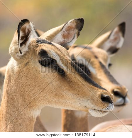 Closeup Of Two Blackfaced Impalas