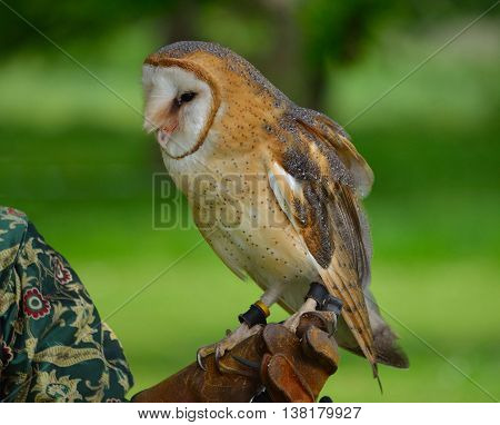 Barn Owl on Gloved Hand close up