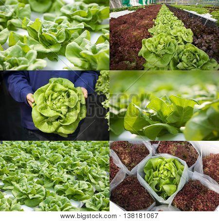 Bibbl lettuce or butterhead lettuce in various views in set