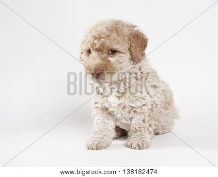 a brown french poodle looking at camera with a white background