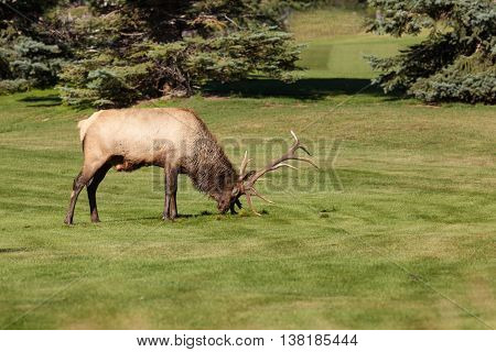 a rutting bull elk tearing up grass with his antlers