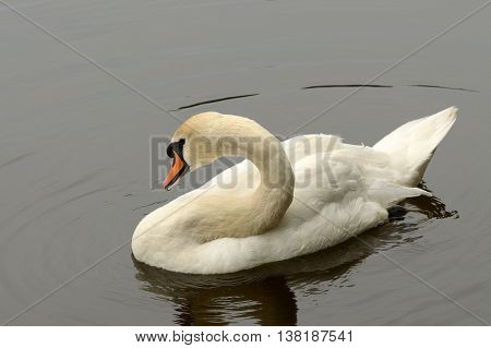A Swan swims alone in the lake.This is a beautiful and majestic bird.