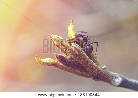 Budding yellow Tabebuia or chrysotricha flower and black ant on blurred background