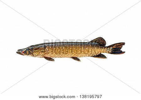 Pike and lure isolated on a white background