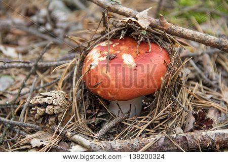 Edible russula mushroom with a red cap in the coniferous forest.