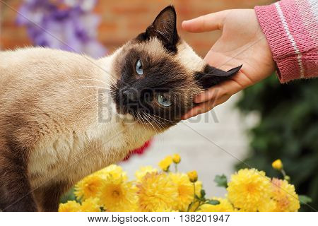 Beautiful affectionate Siamese cat. Petting siamese cat.
