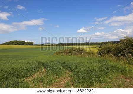 Oat Fields In The Yorkshire Wolds