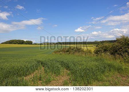 Oat Fields In The Yorkshire Wolds