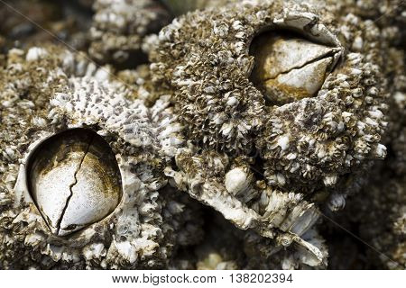 Close up of barnacles on the north jetty in Ocean Shores Washington.