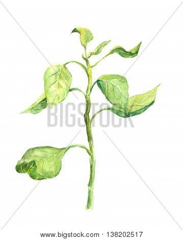 Green sprout with leaves - sprig. Watercolor botanical illustration