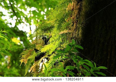 a picture of an exterior Pacific Northwest Vine maple tree with sword ferns