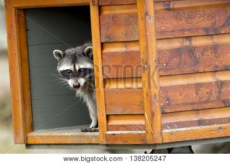 Raccoon looks out from feeding box along the seawall at westhaven cove in Westport Washington.