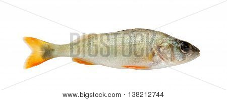Fish. Fresh raw fish perch isolated on white background
