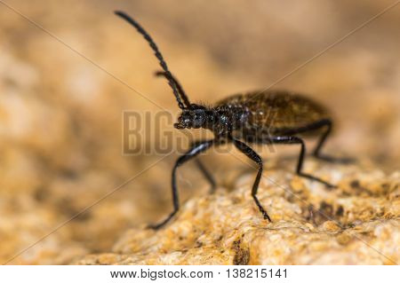 Lagria hirta beetle. A hairy beetle in the family Tenebrionidae said to feed on Asteraceae and Apiaceae plants