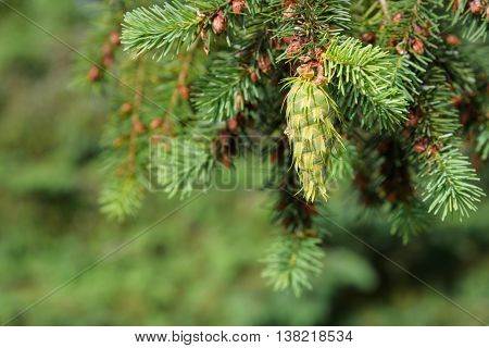 Close-up of fresh growth on an evergreen tree