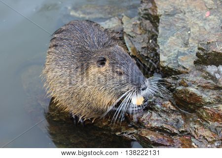 Nutria on the banks of the river