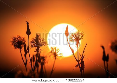 Silhouettes of summer flowers on a background of the setting sun