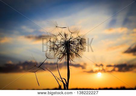 single dandelion on sunset sky background