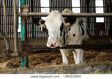 one Holstein cattle in the barn indoor
