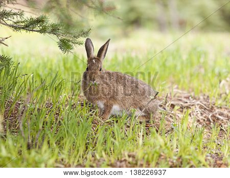 Small cute snowshoe hare on Hurricane Ridge Washington.