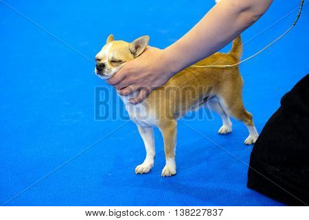 Dog at the ring on the show