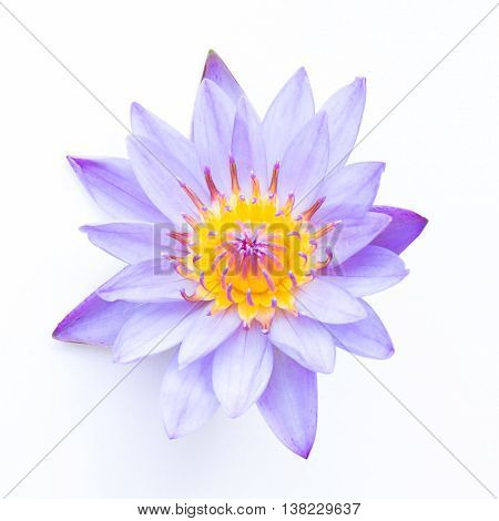 Blooming beautiful lotus flower  on white  background